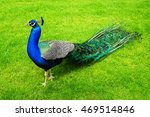 Peacock On A Green Lawn