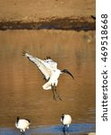 Small photo of African sacred ibis, Pilanesberg Nature Park, South Africa