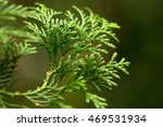 Formosan Cypress' Green Leaves...