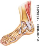 foot   ankle   tendons ... | Shutterstock . vector #469582988