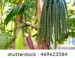Small photo of Betel palm or Betel nut or Areca catechu green raw in bunch. Betel leaves are used in folk medicine of Asian countries as an aphrodisiac, analgesic and antiseptic. Botanical photography.
