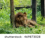 Lion Lying And Licking His Paw