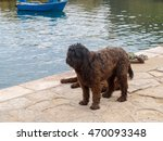 Portuguese Water Dog In The...