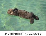 A Southern Sea Otter Pup Sleep...
