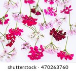 ivy geranium's flowers isolated ...   Shutterstock . vector #470263760
