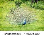 Indian Peafowl   Pavo Cristatu...