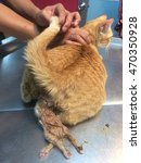 Small photo of Soft and blurry image of female cat had difficulty during kitten delivery. Dystocia is a difficult condition to give fetus birth. Treat with physical maneuvers,operative vaginal delivery, or cesarean.