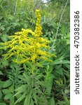 Small photo of Canada goldenrod or Canadian goldenrod (Solidago canadensis) in the meadow