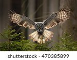 Stock photo action scene from the forest with owl flying great grey owl strix nebulosa above green spruce 470385899