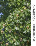 Small photo of Tulip tree (Liriodendron tulipifera) in blossom. Called Tuliptree, American Tulip Tree, Tulip Poplar, Yellow Poplar, Whitewood and Fiddle-tree also. Symbol of Indiana, Kentucky and Tennessee