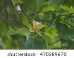 Tulip Tree Flower  Liriodendro...