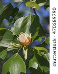Small photo of Tulip tree flower (Liriodendron tulipifera). Called Tuliptree, American Tulip Tree, Tulip Poplar, Yellow Poplar, Whitewood and Fiddle-tree also. Symbol of Indiana, Kentucky and Tennessee