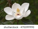Southern Magnolia Flower ...