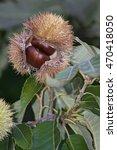 Small photo of American chestnut nuts (Castanea dentata)