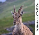 Small photo of Head of a female alpine ibex