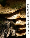 Large Giant Polypore On A Trun...