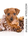 Small photo of Red Pinscher puppy and New Year (isolated on white)