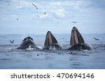 Three Humpback Whales Lunge...