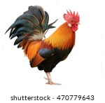 Beautiful male rooster isolated ...