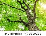 green sapium sebiferum tree... | Shutterstock . vector #470819288