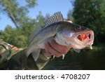 a walleye with big open mouth... | Shutterstock . vector #4708207