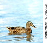 Small photo of Wild duck afloat