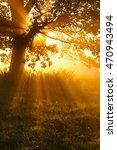 Backlit Oak Tree In Morning...