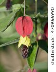 Small photo of Trailing Abutilon - Abutilon megapotamicum From Argentina, Brazil and Uruguay