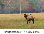 Elk Bugling In Cataloochee