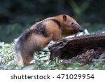 collared anteater  lesser... | Shutterstock . vector #471029954