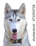 gray siberian husky in front of ... | Shutterstock . vector #471054728