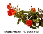 the blossoming orange roses are ... | Shutterstock . vector #471056540