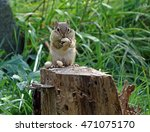 Chipmunk Looking At Camera...