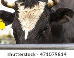 Cow Hear In The Farm Cow Cow...