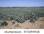 Small photo of Industry owned land grows many acres of vegetable crop for commercial sale/Company Grown Agriculture Crops/Company owned land grows many acres of vegetable crop for commercial sale.