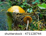 Small photo of Galerina marginata It contains a deadly poison Amanitin and is just as poisonous as Amanita phalloides.