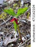 Small photo of First Blooming Trillium of the Spring, red trillium (Trillium erectum)