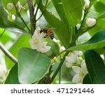 Honey Bee Pollinating Citrus...