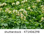 Potato Bush Blooming With Whit...