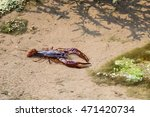 A Large Wild  Living Crawdad ...