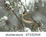 Tufted Titmouse  Parus Bicolor...