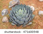 Small photo of Agave parryi plant.