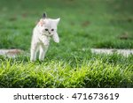 Stock photo cute american short hair kitten jumping on the field 471673619