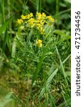 Small photo of Cypress spurge (Euphorbia cyparissias) in the meadow