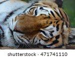 Sleeping Tiger Face Portrait....