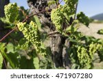 grapevine infected by... | Shutterstock . vector #471907280