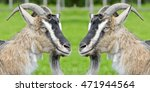 Two Funny Goat Looking At Each...