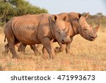 A Pair Of Adult White Rhinos...
