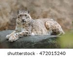 Face Portrait Of Snow Leopard...