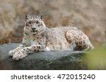 Face Portrait Of Snow Leopard...